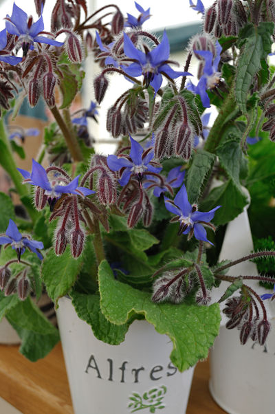 Borage from Cloughjordan House