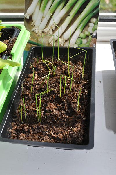 Spring Onion Seedlings