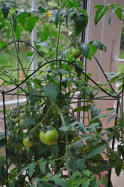 Johnnie's Tomato Plant