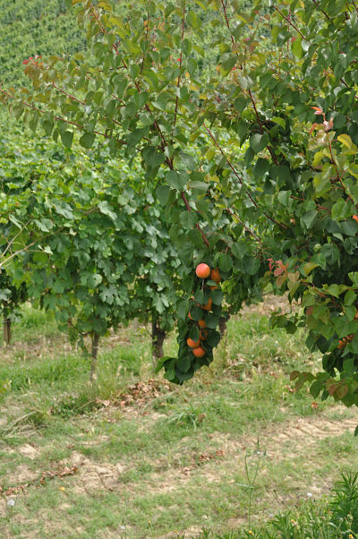 fruit laden trees at villa tiboldi