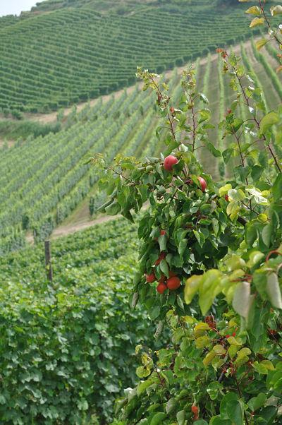 fruit on the trees at villa tiboldi