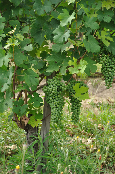 grapes at Villa Tiboldi