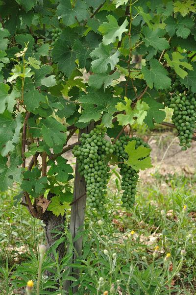 grapes at Villa Tiboldi