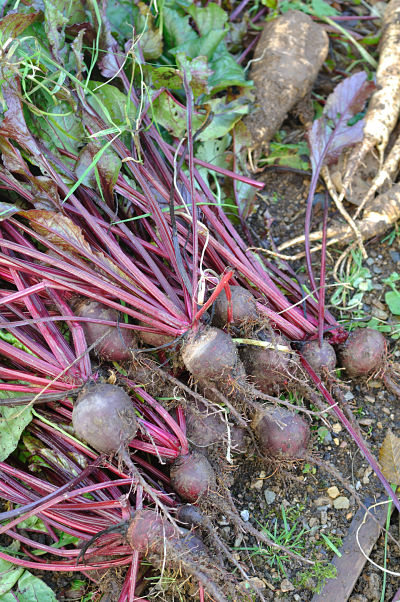 Beetroot from the garden