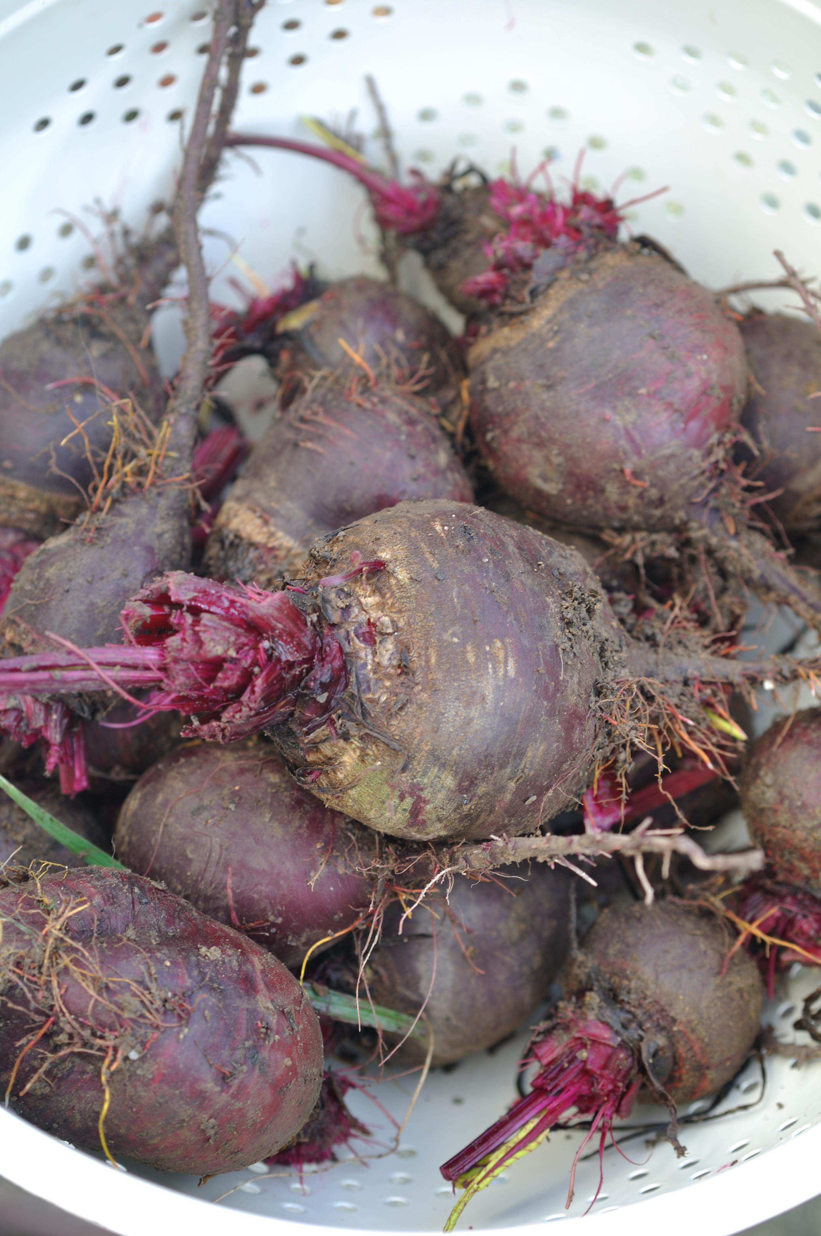 Beetroot harvest