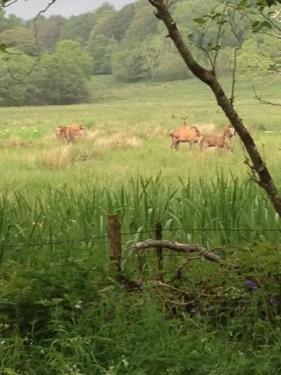 Deer at Killarney National Park